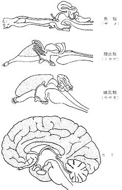 各種脊椎動物における終脳外套 ... : セキツイ動物 : すべての講義